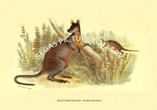 BLACK-TAILED WALLABY - Macropus Walabatus